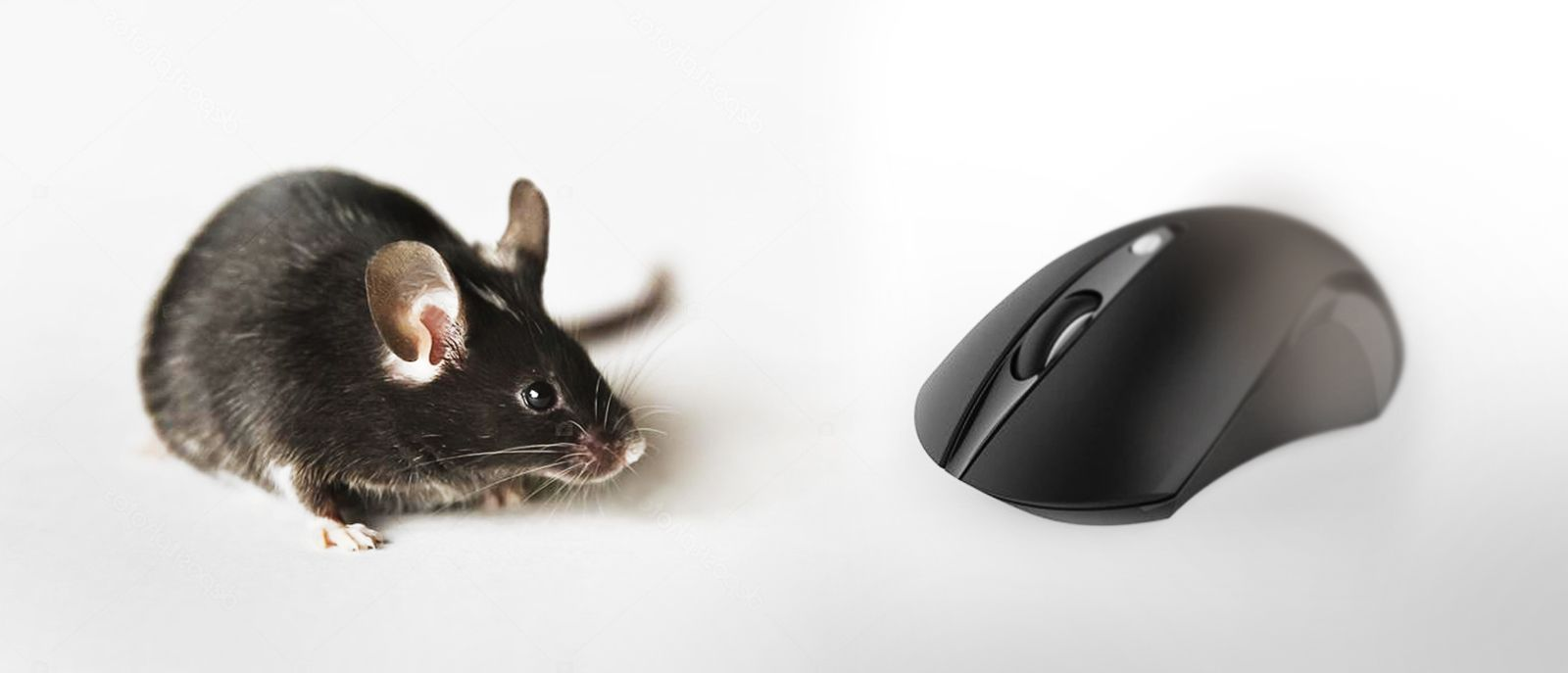 image of a living black mouse and a black computer mouse
